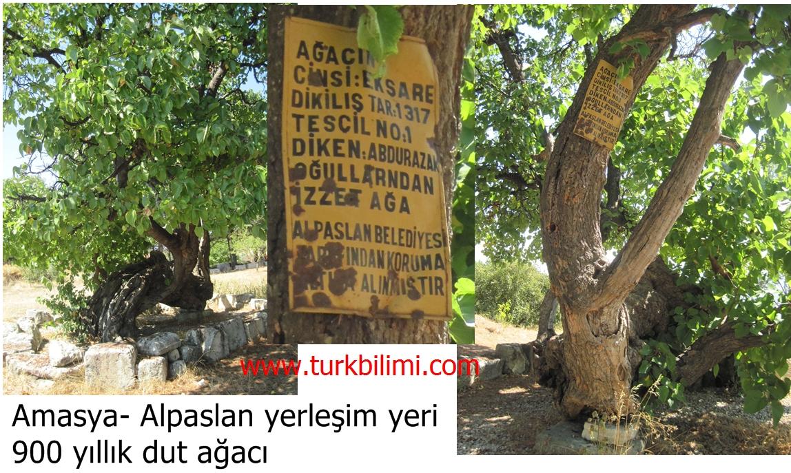 Amasya- Alpaslan yerleşim yeri 900 yıllık dut ağacı