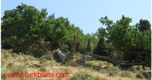 Çok yaşlı dut ağacı- Karainebeyli