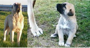 Aksaray Malaklısı; Aksaray'ın büyük sürü köpeği