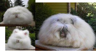 Kaybedilmiş bir kıymetli değer, Ankara- Angora tavşanı tüyü ile yapılan yumuşak örgü ipliği.