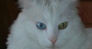 Ankara kedisi-Angora kedisi