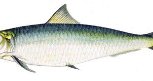 Çanakkale boğazı Sardalya balığı tarihi ve Gelibolu Sardalya festivali